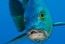 tn_red-snapper-reef-fish-w-teeth